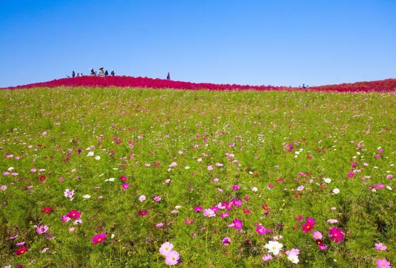Cosmoses pole i kochias wzgórze zdjęcia stock