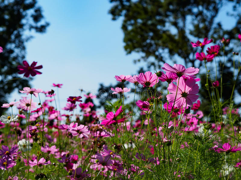 CosmosFlowers. Beautiful cosmos flowers in garden for background. Selective focus royalty free stock photos