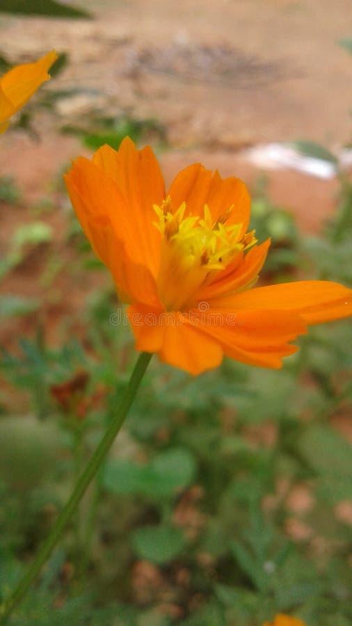 Cosmus kwiat zdjęcia royalty free