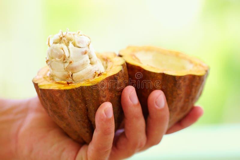 Cosse crue et fraîche ouverte de cacao dans des mains, avec des haricots à l'intérieur photographie stock libre de droits