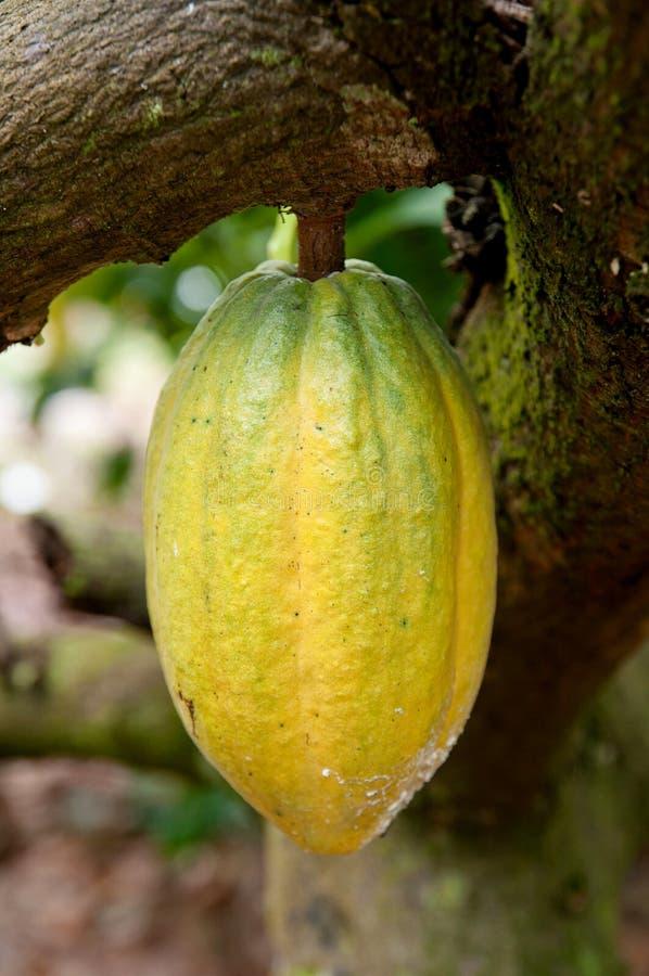 Cosse de cacao photo stock