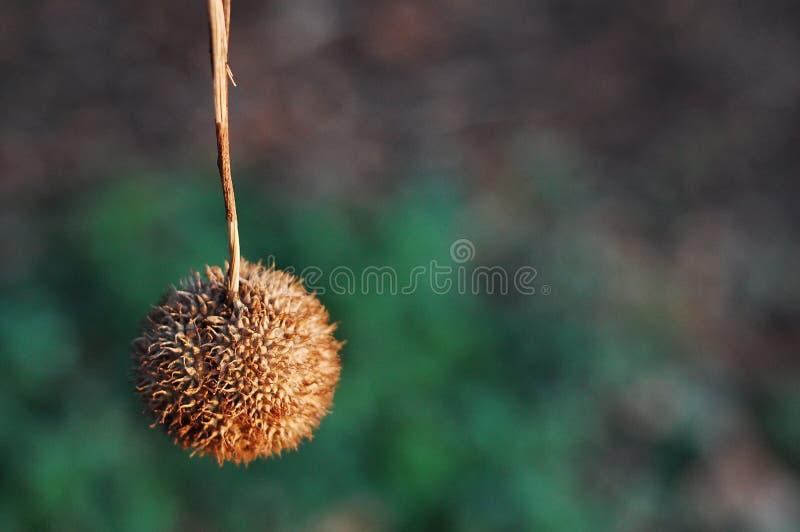 Download Cosse De Graine D'arbre Plat Image stock - Image du arbre, automne: 4350251