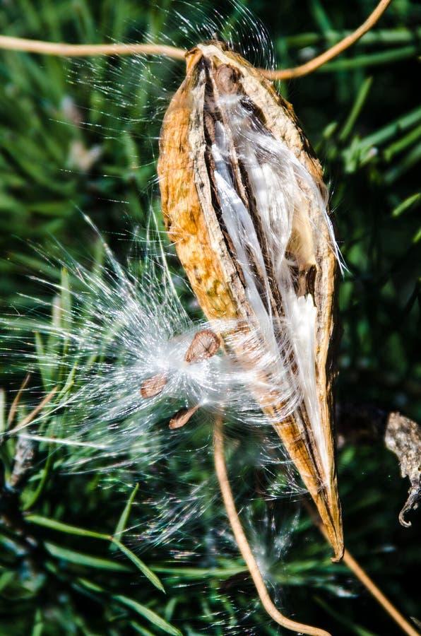 Cosse de Milkweed éclatant avec des graines images stock