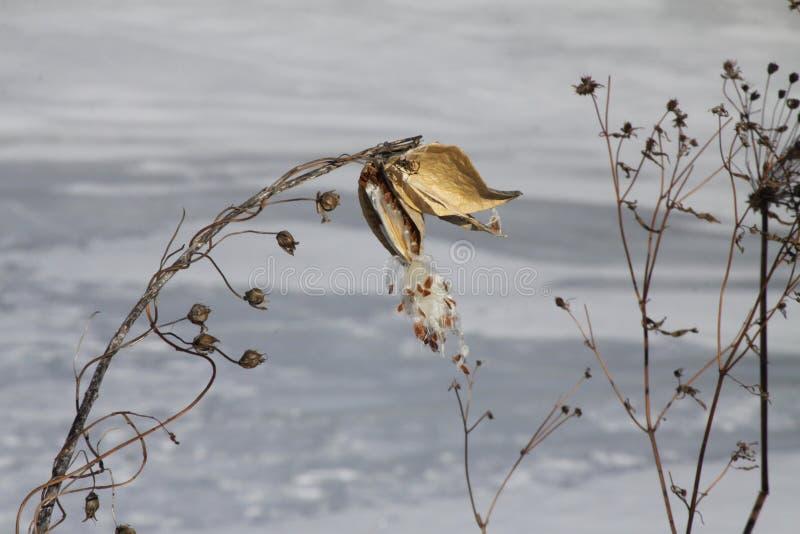 Cosse de Milkweed (Asclepias) sèche et éclat image libre de droits