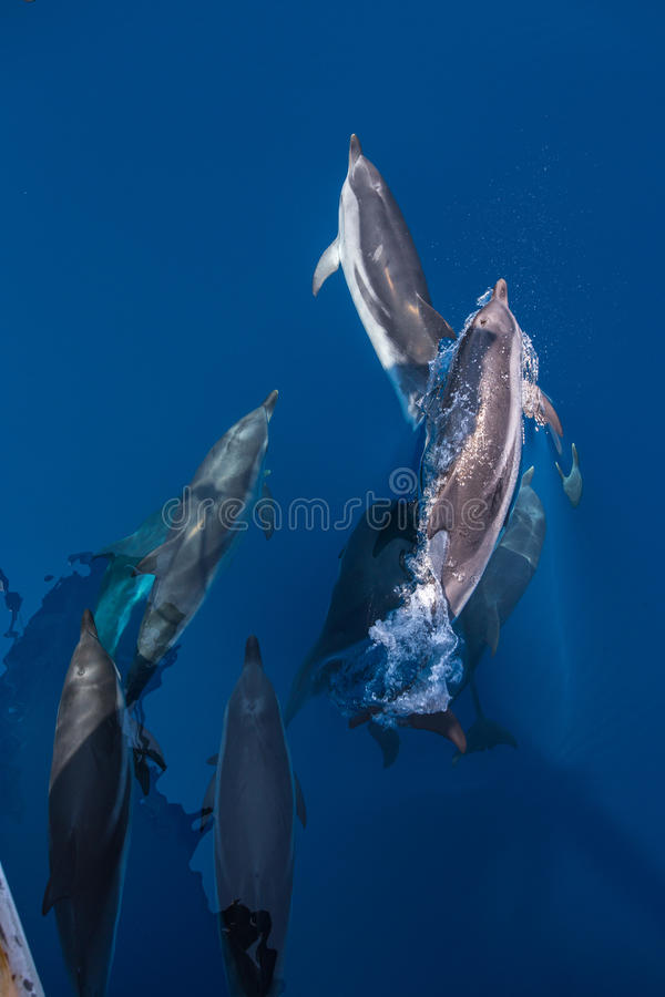 Cosse des dauphins rayés images stock