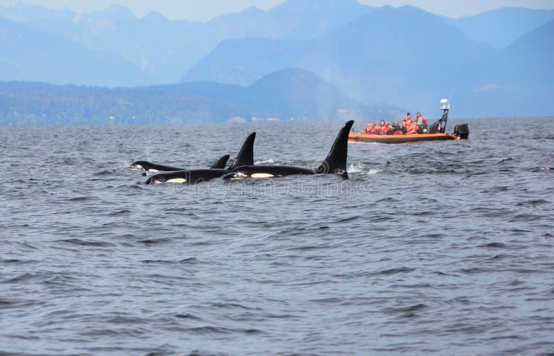 Cosse des orques résidentes de la côte près de Sechelt, AVANT JÉSUS CHRIST photos libres de droits