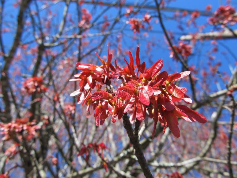 Cosses d'érable au printemps photos stock