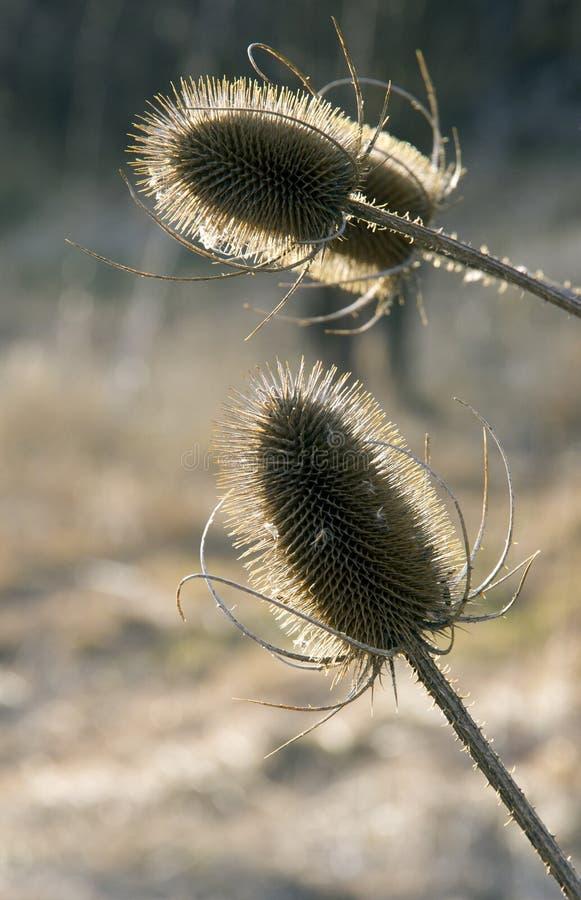 Cosses d'herbe de Praire éclairées à contre-jour par Sun image libre de droits