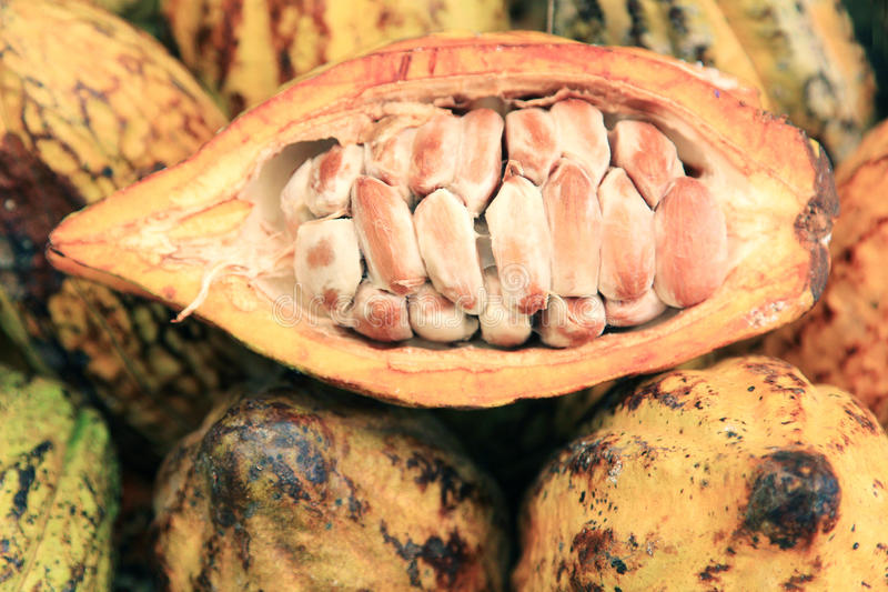 Cosses de cacao image stock