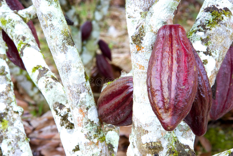 Cosses de cacao photographie stock