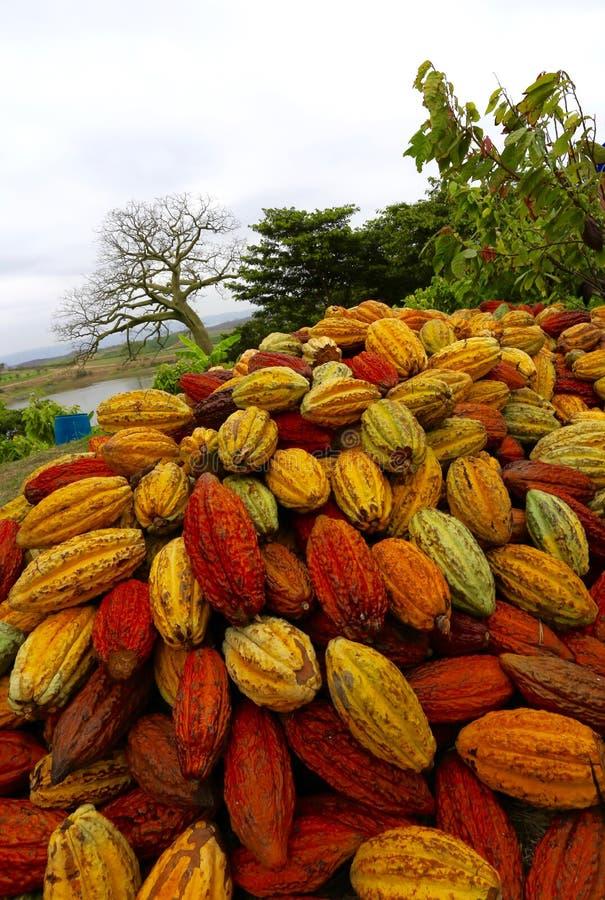 Cosses de cacao en Equateur photographie stock