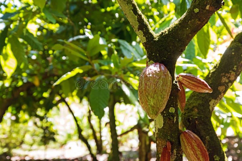 Cosses de cacao sur l'arbre le jour ensoleillé image libre de droits