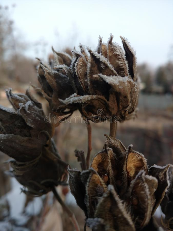 Cosses de fleur en hiver images libres de droits