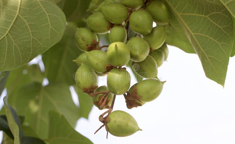 Cosses de graine sur un arbre photographie stock libre de droits