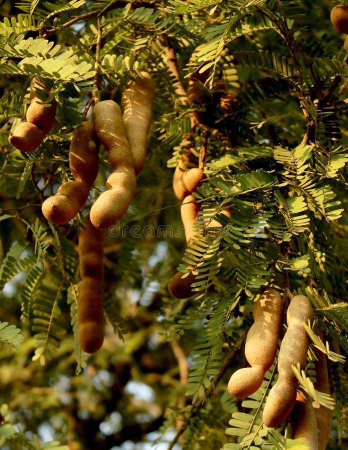 Cosses de tamarinier accrochant dans l'arbre images libres de droits
