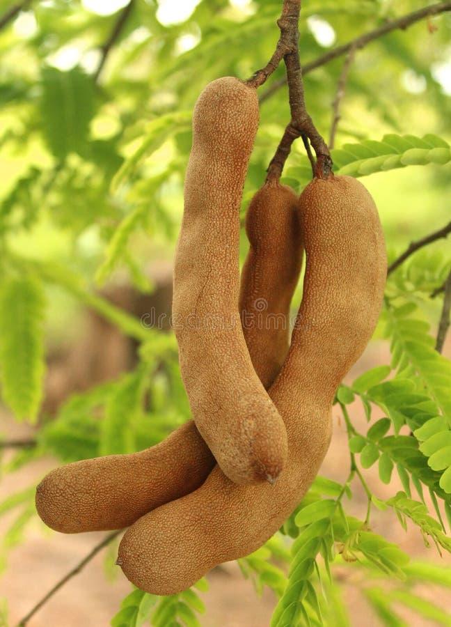 Cosses de tamarinier dans l'arbre images stock