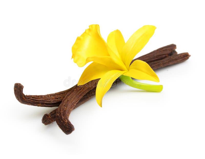 Cosses et fleur de vanille image stock