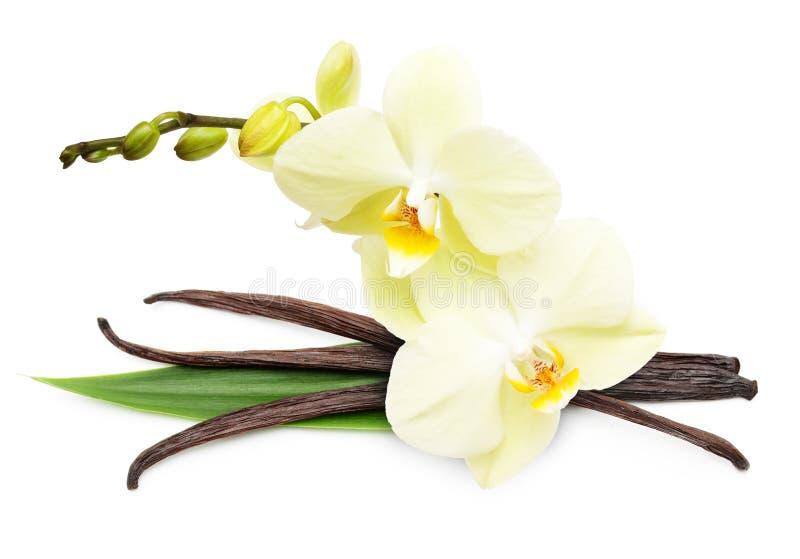 Cosses et fleur de vanille d'isolement image stock