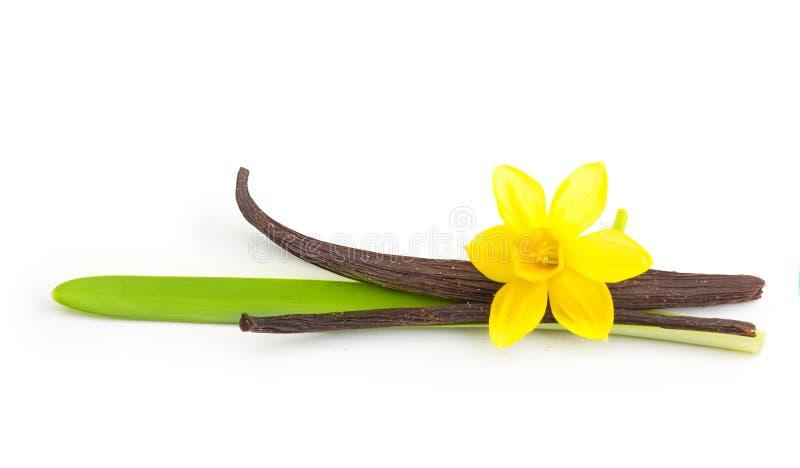 Cosses et fleur de vanille d'isolement photos stock