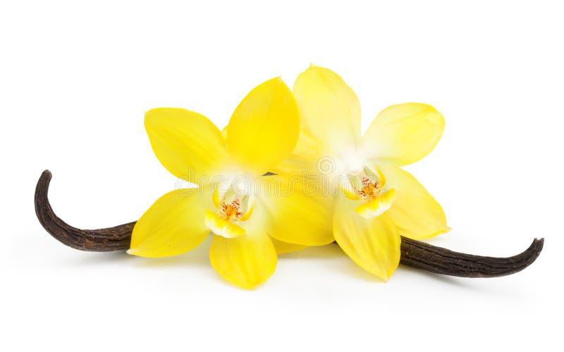 Cosses et fleur de vanille d'isolement photographie stock libre de droits