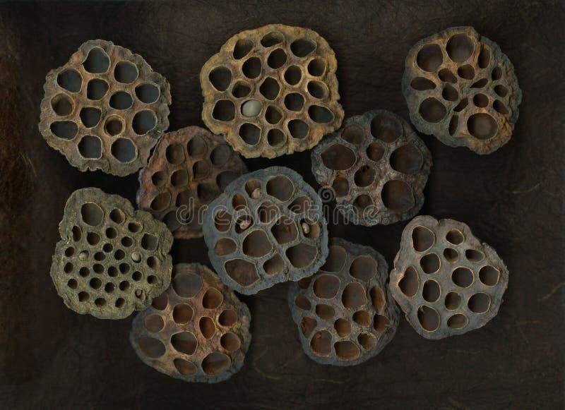 cosses sèches de lotus photos stock