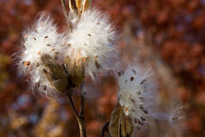 Cosses sèches de Milkweed éclatant en Autumn Breeze images stock