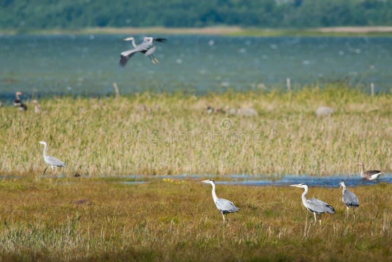 Costa con Grey Herons imagenes de archivo