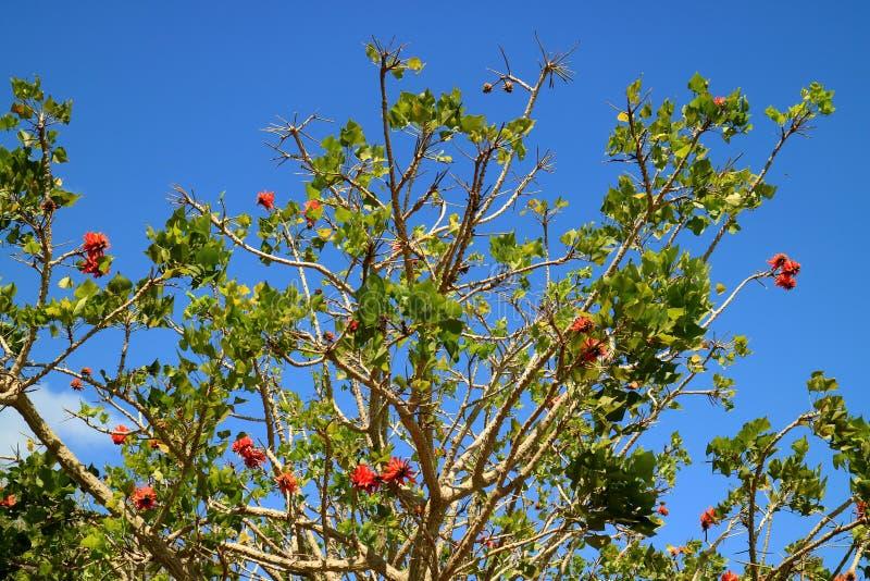 Costa de florecimiento Coral Tree con las flores anaranjadas del color contra el cielo azul vivo de la isla de pascua, Chile foto de archivo