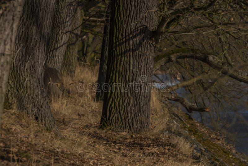 Costa de la charca escarchada de Rozmberk con el roble viejo grande en día de invierno foto de archivo libre de regalías