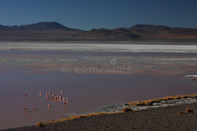 Costa de Laguna Colorada com flamingos fotos de stock royalty free