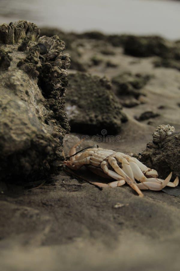 Costa dell'Oregon del granchio fotografie stock