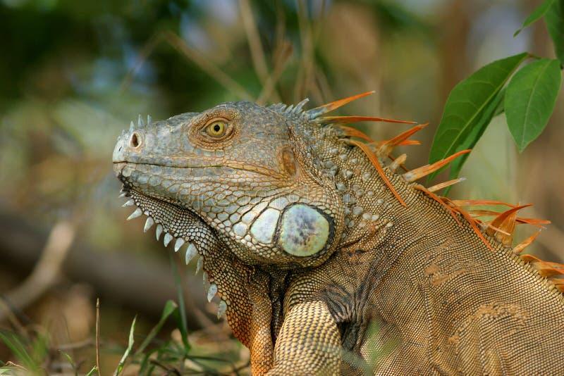 costa iguany samiec rica obrazy royalty free