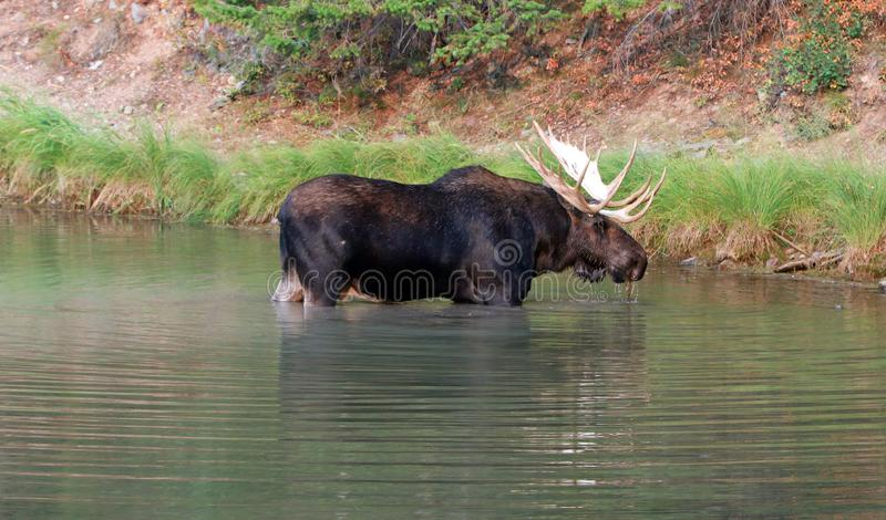 Costa próxima dos alces de Shiras Bull do lago Fishercap nos muitos região da geleira de parque nacional de geleira em Montana EU fotografia de stock