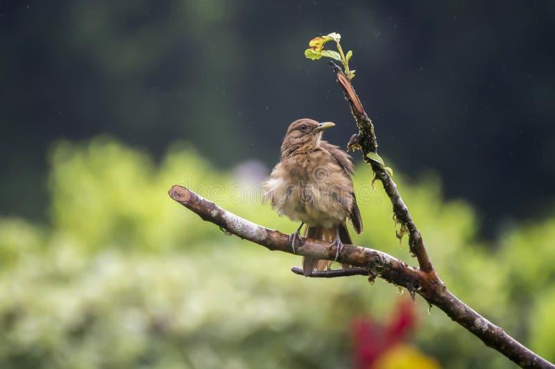 Costa Rica Clay Colored Thrush Bird on Branch in Rain stock photography