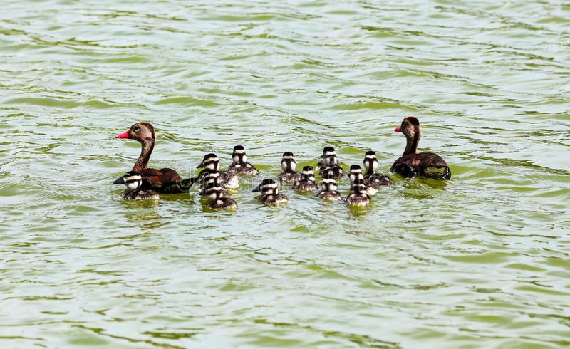 Costa Rica duck with chicks, swimming in lake during sumer stock photo