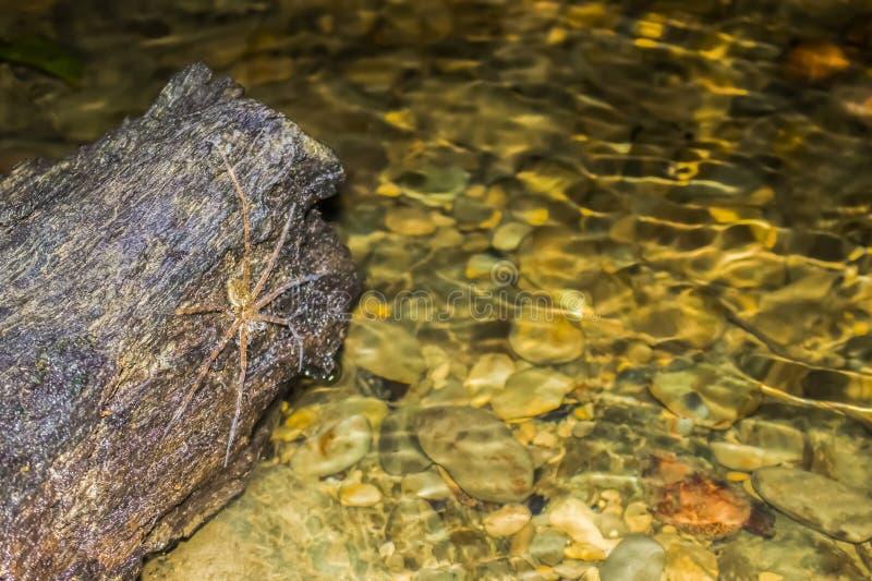 Costa Rica Fishing Spider Awaits Prey dichtbij Kreek stock afbeeldingen