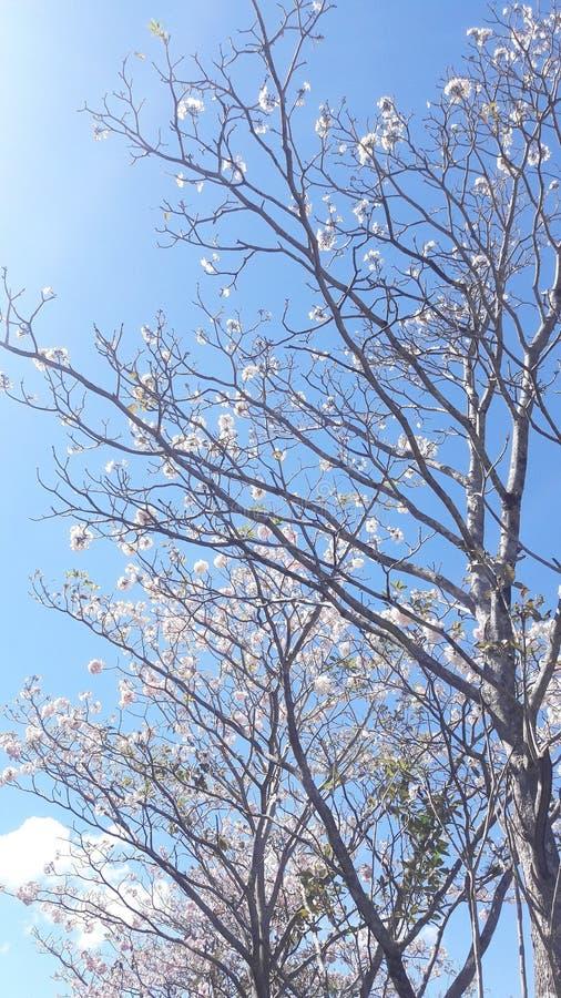 Costa Rica Floral Tree lizenzfreie stockfotos