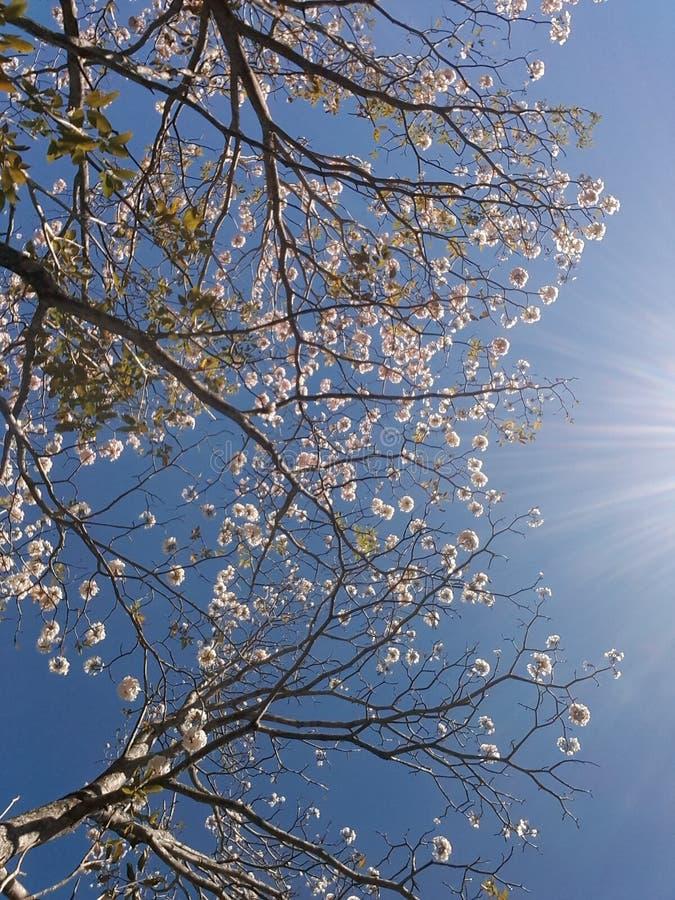 Costa Rica Floral Tree stockbilder