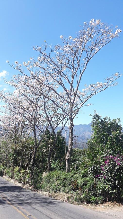 Costa Rica Floral Tree stockfotografie