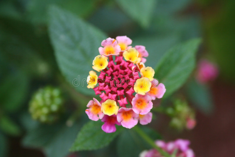 Download Costa Rica Flower 06 stock image. Image of shrub, central - 837993