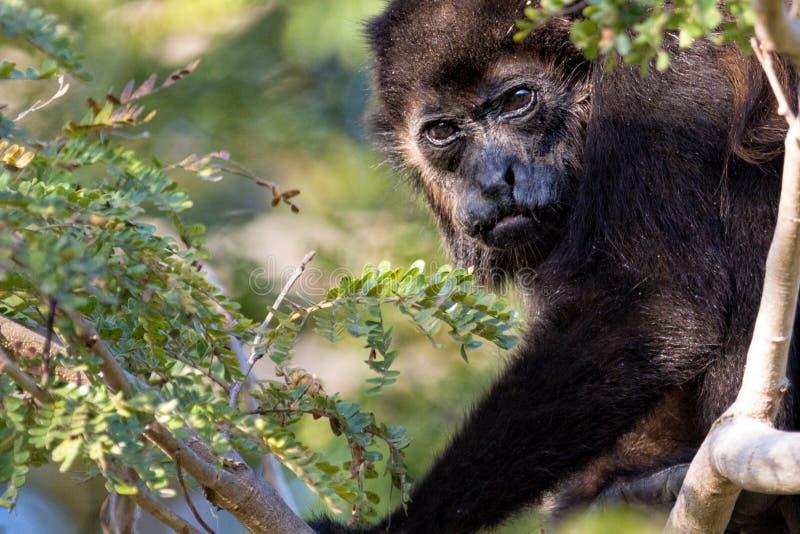 Costa Rica Howler Monkey royalty-vrije stock afbeeldingen