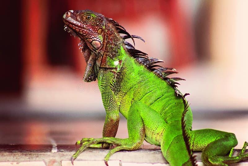 Costa Rica Iguana vermelho e verde imagem de stock