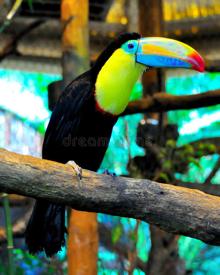Costa Rica Keel-Billed Toucan stock photos