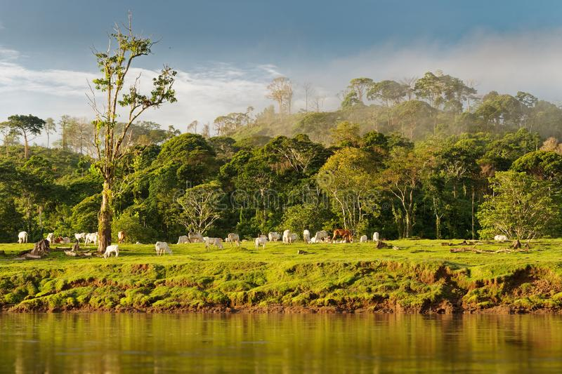 Costa Rica landscape from Boca Tapada, Rio San Carlos. Riverside with meadows and cows, tropical cloudy forest in the background stock images
