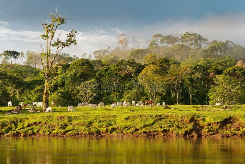 Costa Rica landskap från Boca Tapada, Rio San Carlos Flodstrand med ängar och kor, tropisk molnig skog i bakgrunden arkivbilder