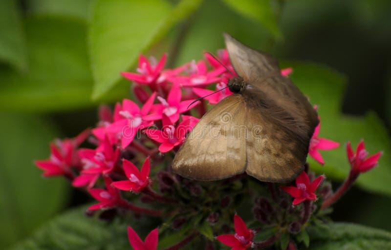 Costa Rica motyl obrazy stock