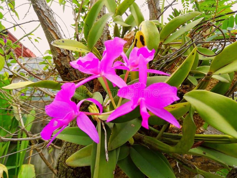 Costa Rica nationell blomma fotografering för bildbyråer