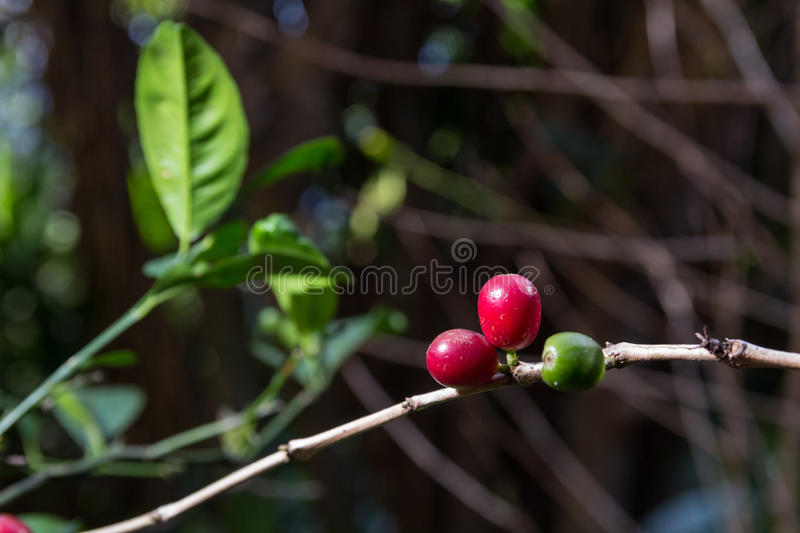 Download Costa Rica Red And Green Coffee Berries Stock Photo - Image: 83720810