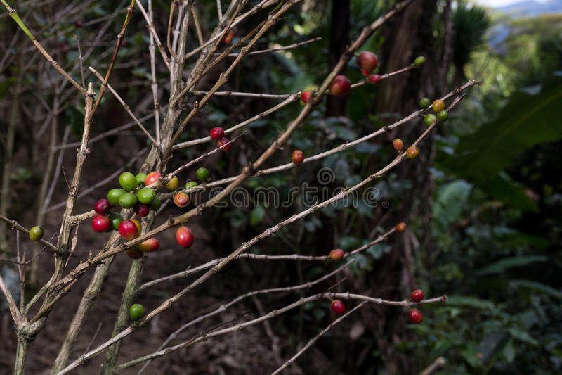 Download Costa Rica Red And Green Coffee Berries Stock Photo - Image: 83720895