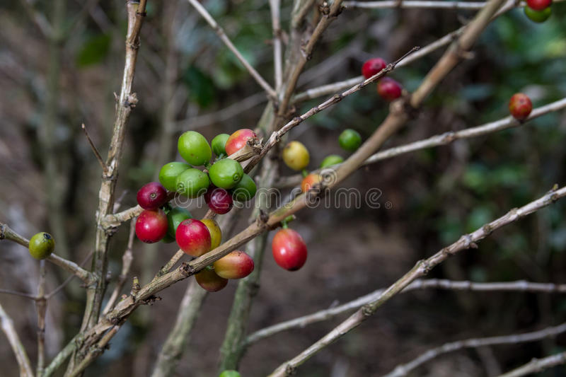 Download Costa Rica Red And Green Coffee Berries Stock Photo - Image: 83721330